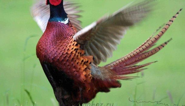 Все самое интересное о птицах домашнего хозяйства - Страница 2 из 4