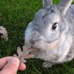 Кролик Шиншилла на прогулке