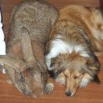 Кролик Ризен и собака Колли