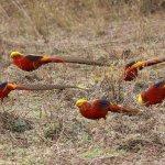 Стайка золотых фазанов на воле