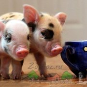 Отзывы владельцев о вьетнамских вислобрюхих свиньях