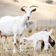 Пугливые козы падают в обморок: фото и видео обзор