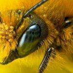 Голова пчелы крупным планом