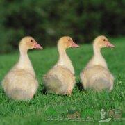 Синусит у гусей: как вылечить птиц и какие препараты давать