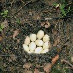 Кладка яиц серой утки
