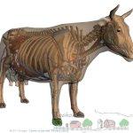 Строение тела: анатомия