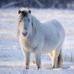 Белая пушистая якутская лошадка