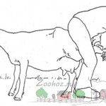 Обрезка задних копытец стоячего животного