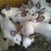 Описание Серебристого кролика: отзывы, достоинства и недостатки породы Серебро