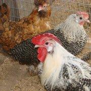 Что за болезнь у курицы и как ее вылечить
