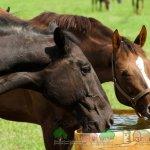 Лошади пьют воду