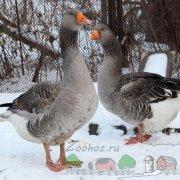 Содержание гусей зимой в домашних условиях: фото и видео