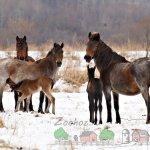 Гнедо-чалые кобылицы с жеребятами