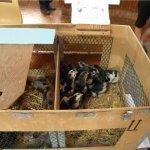 Небольшой цыплятник с птенцами