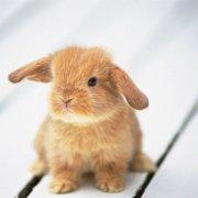Кастрация кроликов в домашних условиях: обзор и видео