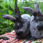 Два молодых серебристых кролика