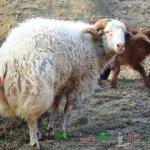 Курдючная кавказская порода овец