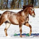 Светлый конь рыже-чалый