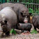 Вьетнамские свиноматки и поросята