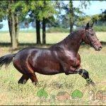Вишневая лошадь бежит в траве