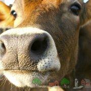 Как повысить удои коров зимой: советы и видео