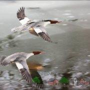 Описание породы утки Чирок: фото и видео обзор