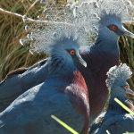 Веероносные голуби на прогулке