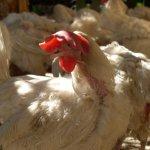 Белая курица породы шейвер
