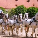 Шестерка кладрубских лошадей