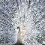 Красавец павлин белого цвета