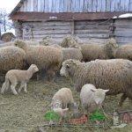 Стадо куйбышевских овец на ферме