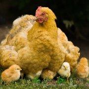 Как определить свежесть куриного яйца и срок годности хранения в холодильнике: советы с фото и видео