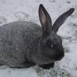 Серый Обер на снегу