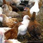 Подросшие цыплята геркулес