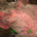 Больная чесоткой свинья