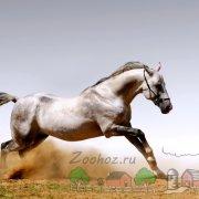 Все о лошадях иноходцах: описание, фото и видео обзор