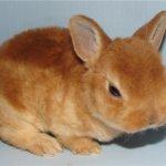 Юный кролик породы Рекс