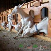 Что ест коза в домашних условиях: чем кормить зимой, чтобы было больше молока и сколько нужно сена