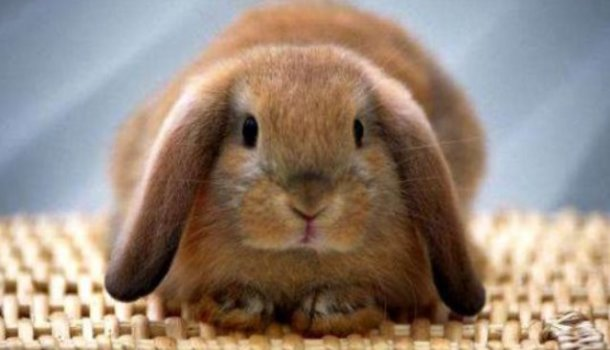 Как сделать шлейку своему кролику