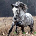Серый орловский рысак в поле
