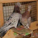 Мраморные бронзовые голуби