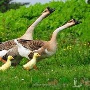 Как изготовить поилки для гусей своими руками: фото и видео