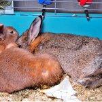 Две крольчихи сидят в клетке