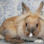 Львиноголовый кролик с пятнистым окрасом