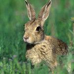 Речной кролик в траве