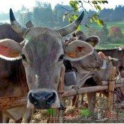Породы быков мясного направления: обзор и фото