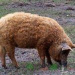 bebfee325711c66_150x150 Морская свинка - породы и варианты типа шерсти
