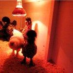 Молодняк кур под красной лампой