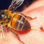 Пчела оставила жало