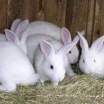 Белые крольчата-подростки в клетке